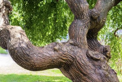 Sophora japónica L. o Planta arbórea de las Pagodas: propiedades, posesiones y contraindicaciones