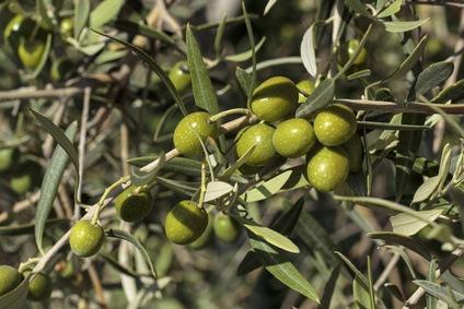Hojas de Olivo: Propiedades Medicinales y Caudal para la Sanidad